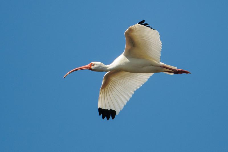 Ibis - White - Ding Darling NWR - Sanibel Island, FL