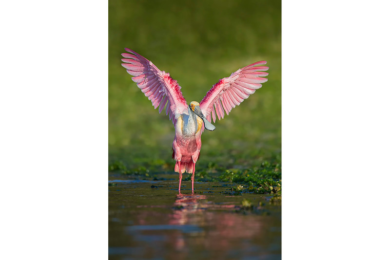 55_Florida Spoonbills_Breeding Pose.jpg