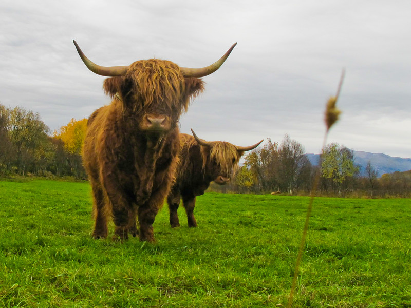 Highland cattle or kyloe are a Scottish breed of beef cattle with long horns and long wavy coats which are coloured black, brindled, red, yellow or dun.