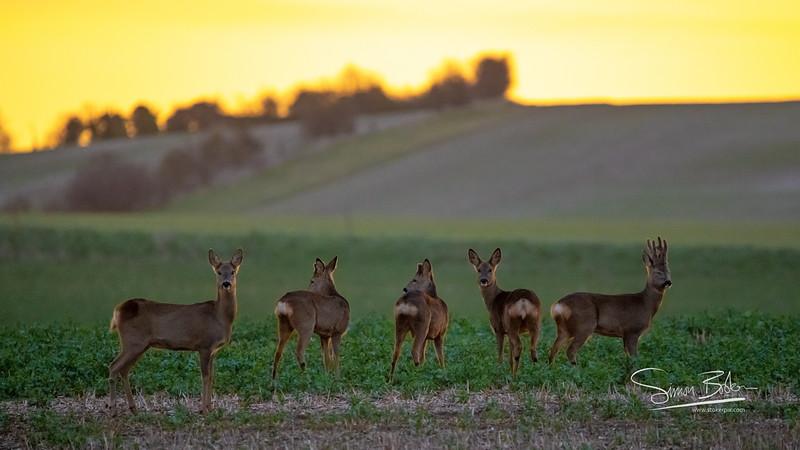 Roe Deer at dawn