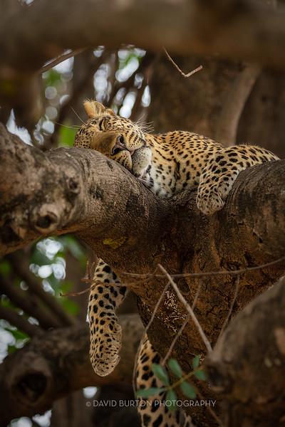Mfuwe_leopard_8316cc2fx-web.jpg
