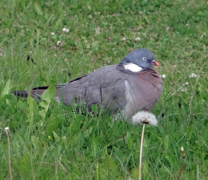 Common Wood Pigeon, Húsavík