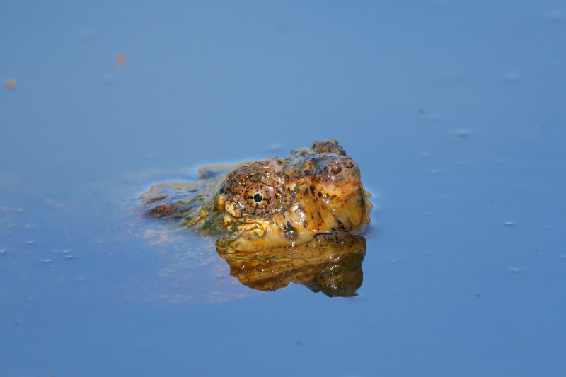 Common Snapping Turtle (Chelydra serpentina) male breeding with submerged female. Newport News, VA. © 2007 Kenneth R. Sheide