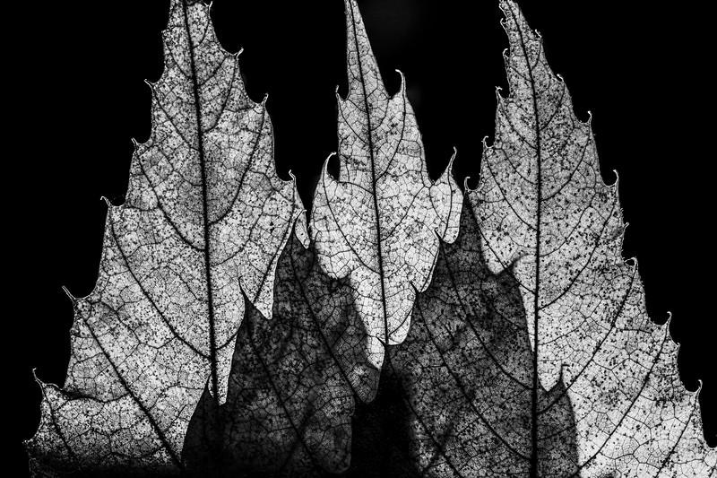 Leaves1 b&w.jpg