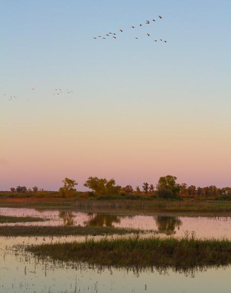 Sandhill Crane flock fly-in Crex Meadows Grantsburg WI IMG_0085.jpg