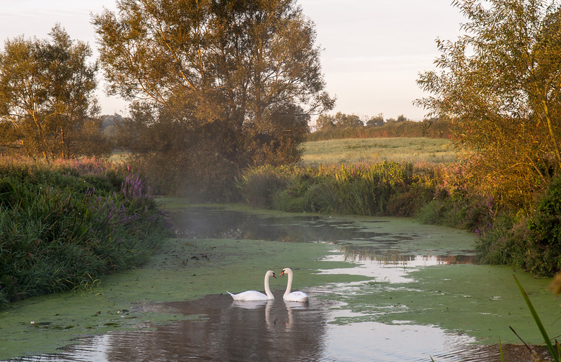 Swans on the River Stour