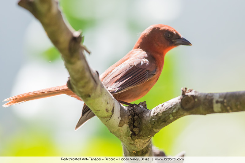 Red-throated Ant-Tanager - Record - Hidden Valley, Belize