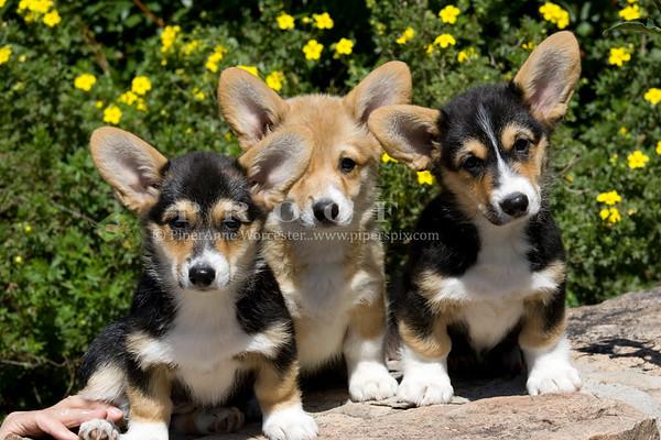 Corgi Puppies_CM