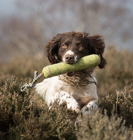 Working Dogs / Gundogs