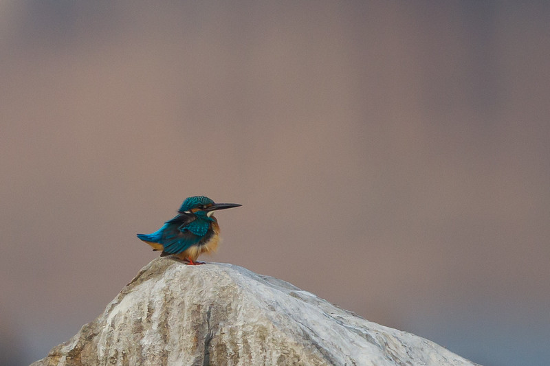 Common Kingfisher - Record - Ameenpur Lake, Hyderabad, India