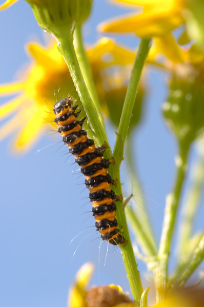 216 Downs - Cinnabar Caterpillar - 6537.jpg