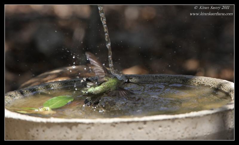 Anna's Hummingbird taking bath, The Drip, Cabrillo National Monument, San Diego County, California, June 2011