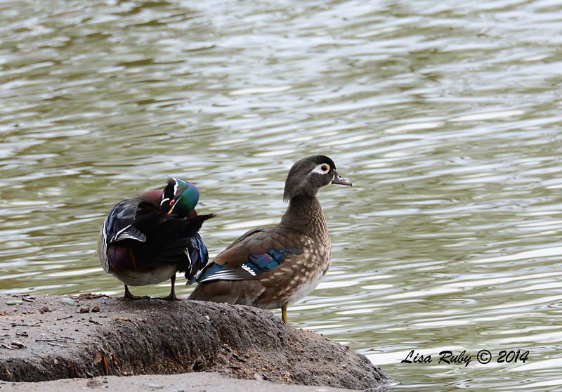 Wood Duck Pair- 3/2/14 - Birding 100 San Diego Bird Festival