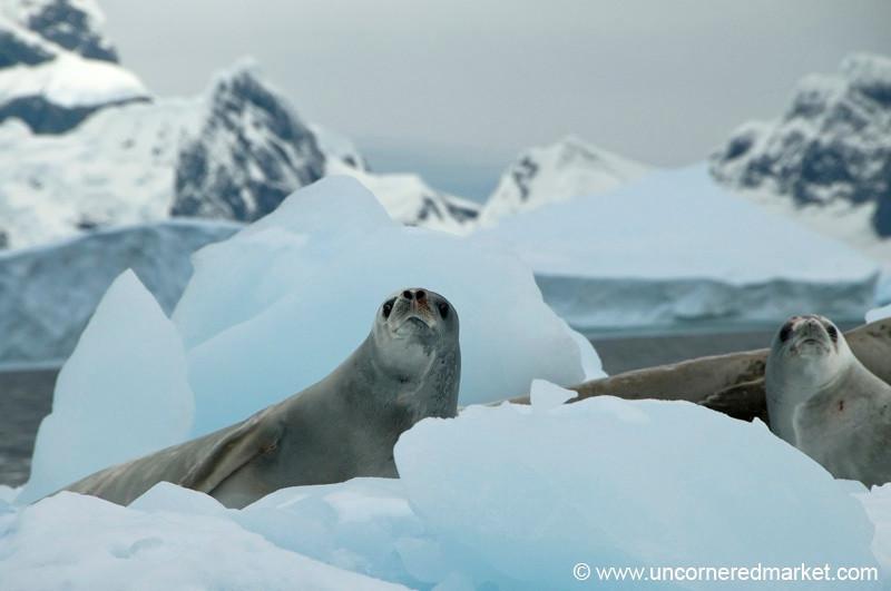 Leopard Seals Hanging Out - Fish Islands, Antarctica