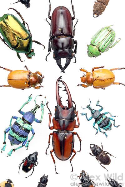 Tropical beetle specimens