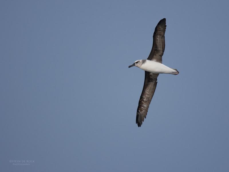 Grey-headed Albatross, imm, Eaglehawk Neck Pelagic, TAS, May 2016-5.jpg