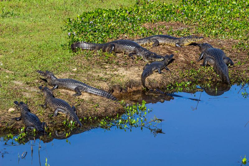 Caiman of the Pantanal, Brazil-44.jpg