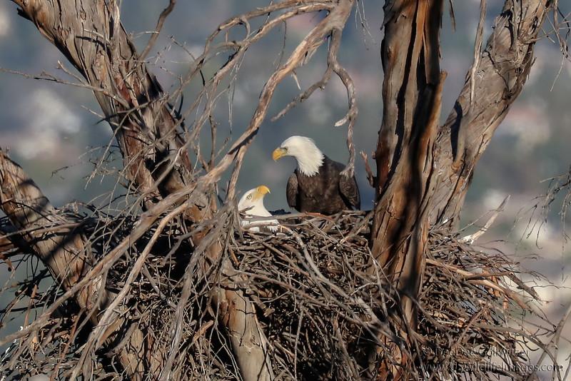 Bald Eagle Nest Site