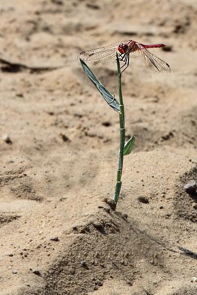 Sandy Dragonfly