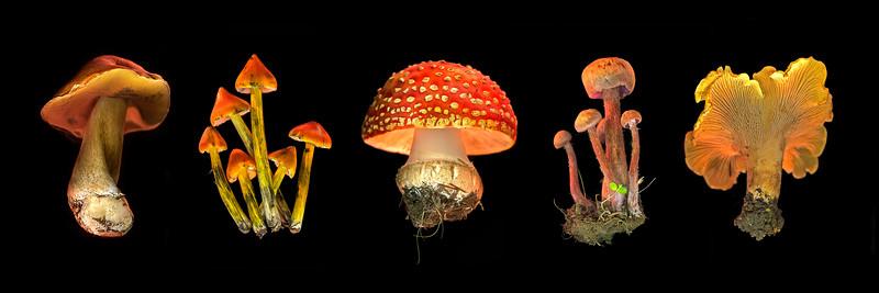 Wild Mushroom Panorama #1