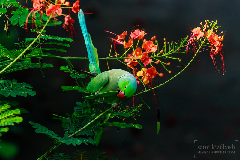 Rose-ringed Parakeet 6.jpg