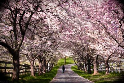 Cherry Blossom Trees 2011