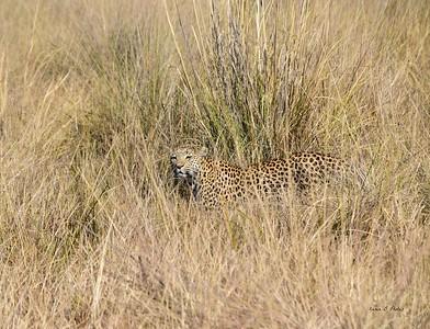 African Big Cats