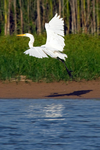 Great white egret taking flight in the Willow Waterhole
