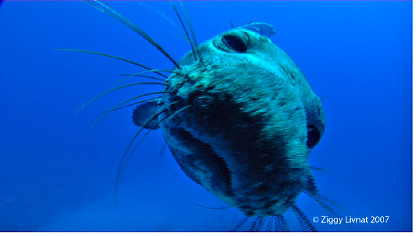 Monk Seal kiss 4.jpg