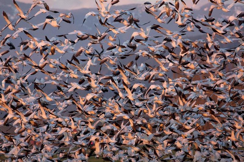Snow geese gathering on the Skagit River Delta near Mount Vernon, Washington State.