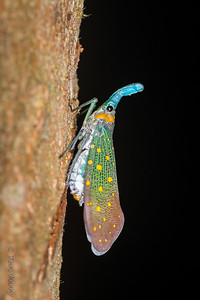 INSECT - Lantern bug-1819