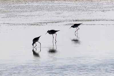 Werribee Water Reclamation Ponds Second Visit