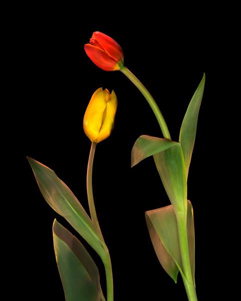 Tulips, Study #8