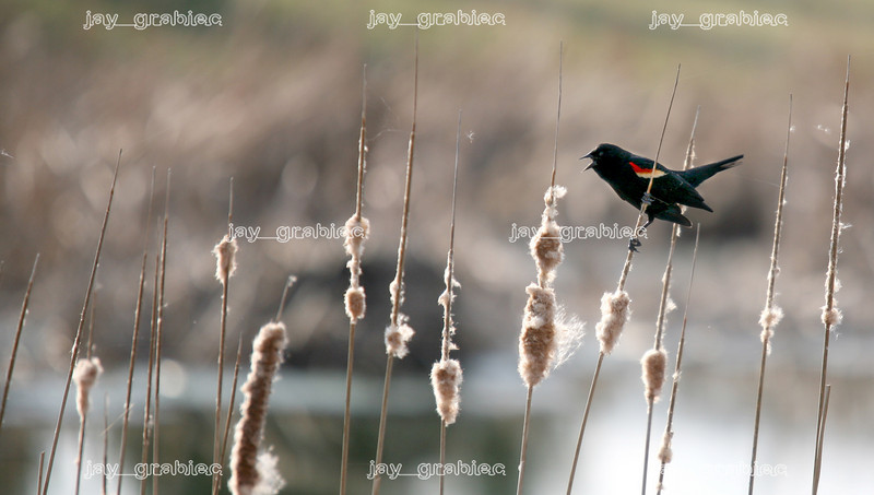 A male Red-winged blackbird is seen calling for a mate while perched on a cattail on the pond located on the north side of camps at Lake Land College in Mattoon, Illinois on Monday, March 16, 2009. (Jay Grabiec)