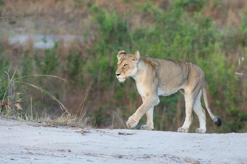 African Lion, Sabi Sands (EP), SA, Sept 2015-8.jpg