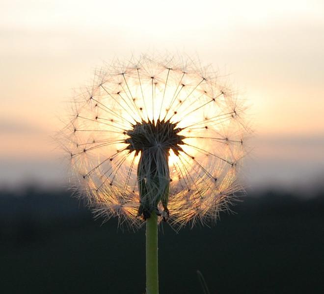 A Dandelion in Balscote (8).JPG