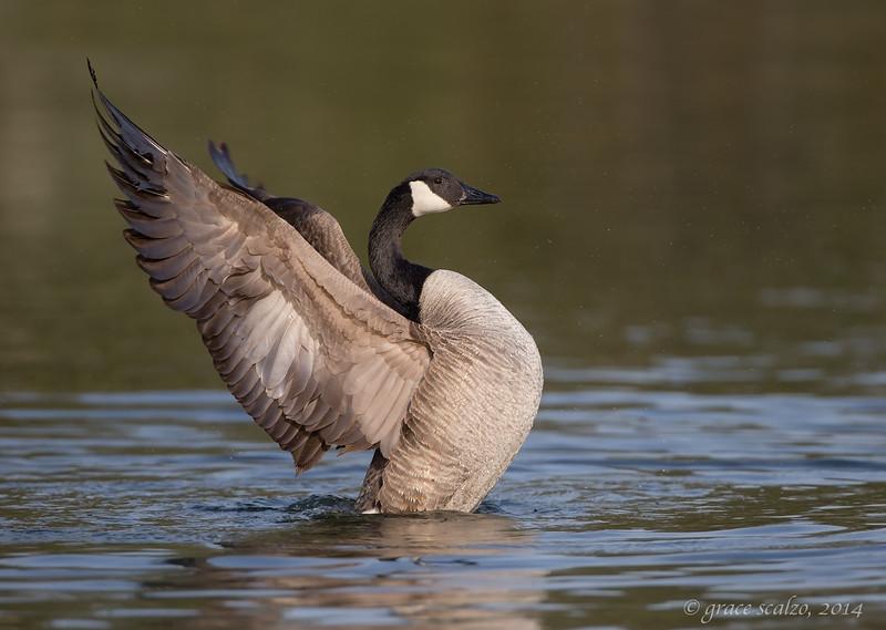 Canada Goose Flap, Long Island, NY, Spring 2013