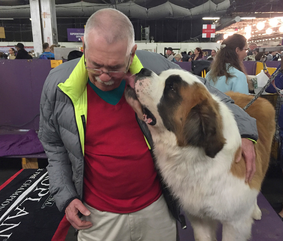 . Rambo, a St. Bernard, licks his owner, Dr. BJ Jackson, of Lawrenceburg, Ky., in the benching area after competing in the 141st Westminster Kennel Club Dog Show, Tuesday, Feb. 14, 2017, in New York. (AP Photo/Jennifer Peltz)