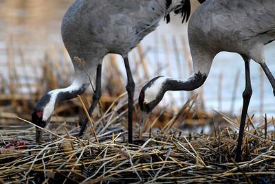 Kurki   Tranor   Cranes