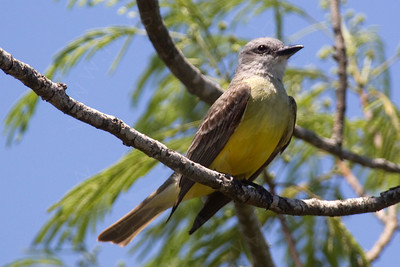 Kingbird, Tropical