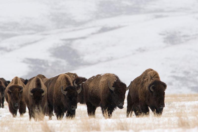 bison002.jpg