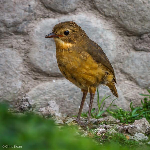 Tawny Antpitta at Antisana Reserve, Ecuador (03-08-2014).jpg