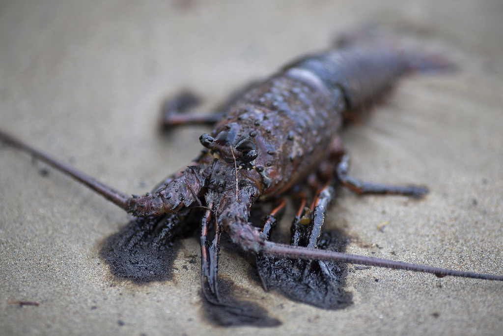 . An oil-covered lobster lies dead on the beach after an oil spill near Refugio State Beach on May 20, 2015 north of Goleta, California. About 21,000 gallons spilled from an abandoned pipeline on the land near Refugio State Beach, spreading over about four miles of beach within hours. The largest oil spill ever in U.S. waters at the time occurred in the same section of the coast where numerous offshore oil platforms can be seen, giving birth to the modern American environmental movement.  (Photo by David McNew/Getty Images)