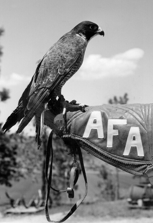 . This male peregrine falcon is destined to be the new mascot at the Air Force Academy at Colorado Springs. Unnamed falcon is a gift from the Arizona-Sonora Desert Museum at Tucson. Cadet mascots entertain sports spectators. 1970. The Denver Post Library Archive