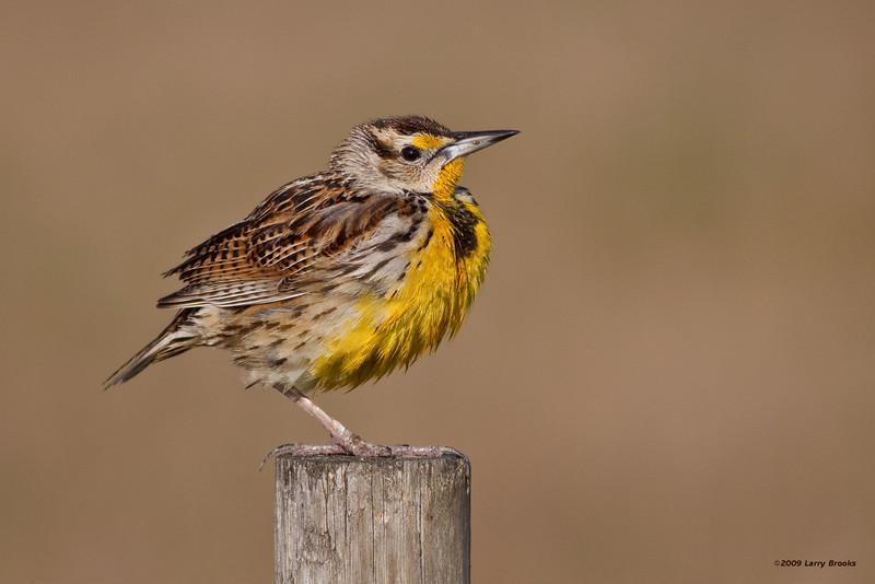 A fresh Eastern Meadowlark waits for momma to bring breakfast at Joe Overstreet Landing