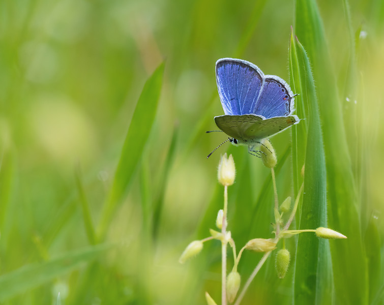 Eastern Tailed Blue in the Grass