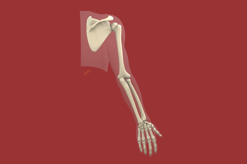 Upper Extremity Skeleton, Posterior view