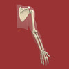 Upper Extremity Skeleton, Posterior view