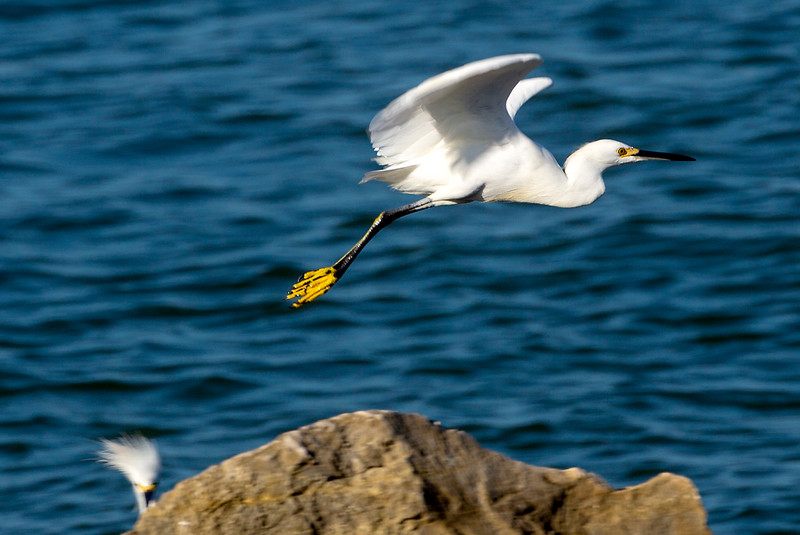 Snowy Egret flying along the rocky shore ...