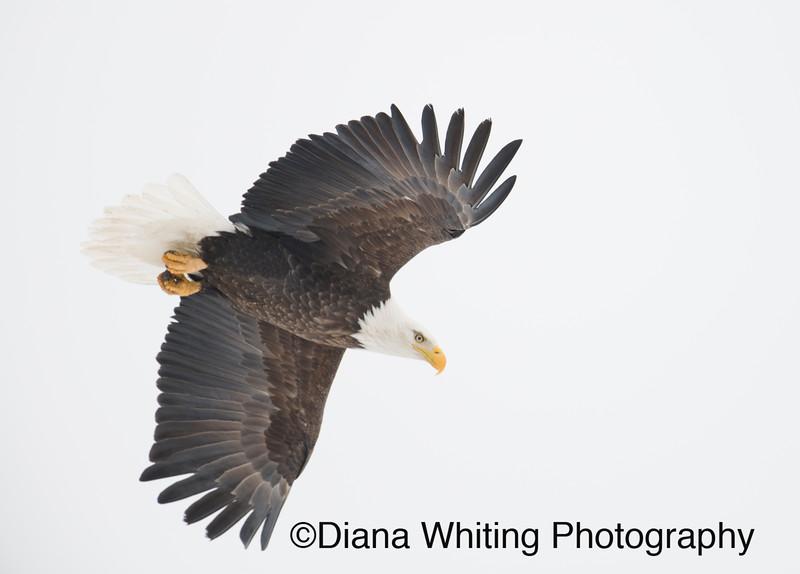 03_02_2019bald eagles_926 copy.jpg